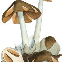 Coloured Figures of English Fungi or Mushrooms - t. 1.jpg: James Sowerbyderivative work: Natr (d) / Public domain