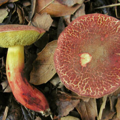 2002-01-05_Xerocomus_dryophilus_(Thiers)_Singer_12.jpg: This image was created by user Nathan Wilson (nathan) at Mushroom Observer, a source for mycological images.You can contact this user here.English| español| français| italiano| македонски| മലയാളം| português| +/−derivative work: Ak ccm / CC BY-SA (https://creativecommons.org/licenses/by-sa/3.0)