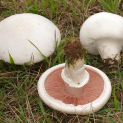 Andreas Kunze / CC BY-SA (https://creativecommons.org/licenses/by-sa/3.0) via https://commons.wikimedia.org/wiki/File:2010-08-07_Agaricus_campestris_cropped.jpg