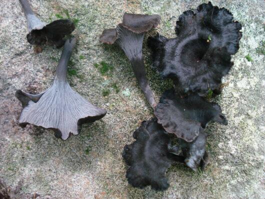 Cette image a été créée par l'utilisateur Dave W (Dave W) dans Mushroom Observer, une source d'images mycologiques.Vous pouvez contacter cet utilisateur iici.English| español| français| italiano| македонски| മലയാളം| português| +/− / CC BY-SA (https://creativecommons.org/licenses/by-sa/3.0)
