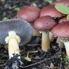 Cette image a été créée par l'utilisateur Ann B. (Ann F. Berger) dans Mushroom Observer, une source d'images mycologiques.Vous pouvez contacter cet utilisateur iici.English | español | français | italiano | македонски | മലയാളം | português | +/− / CC BY-SA (https://creativecommons.org/licenses/by-sa/3.0)