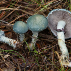 Stropharia_aeruginosa_Viherkaulussieni_IMG_6863_C.jpg: Anneli Saloderivative work: Ak ccm / CC BY-SA (https://creativecommons.org/licenses/by-sa/3.0)