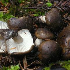 Cette image a été créée par l'utilisateur Ron Pastorino (Ronpast) dans Mushroom Observer, une source d'images mycologiques.Vous pouvez contacter cet utilisateur iici.English| español| français| italiano| македонски| മലയാളം| português| +/− / CC BY-SA (https://creativecommons.org/licenses/by-sa/3.0)