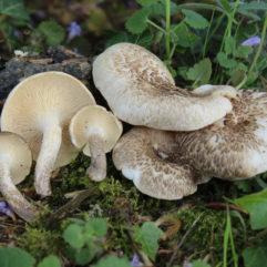 Cette image a été créée par l'utilisateur Davide Puddu (Davide Puddu) dans Mushroom Observer, une source d'images mycologiques.Vous pouvez contacter cet utilisateur iici.English| español| français| italiano| македонски| മലയാളം| português| +/− / CC BY-SA (https://creativecommons.org/licenses/by-sa/3.0)