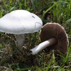 Harry Harms, Agaricus campester Weidechampignon, CC BY-NC-SA 2.0 via https://www.flickr.com/photos/harry_harms/4891438162