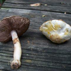 Author:Patrick Harvey Source: Mushroom Observer URL: http://www.mushroomobserver.org/image/show_image/59239 via https://ro.m.wikipedia.org/wiki/Fi%C8%99ier:Agaricus_abruptibulbus.jpg