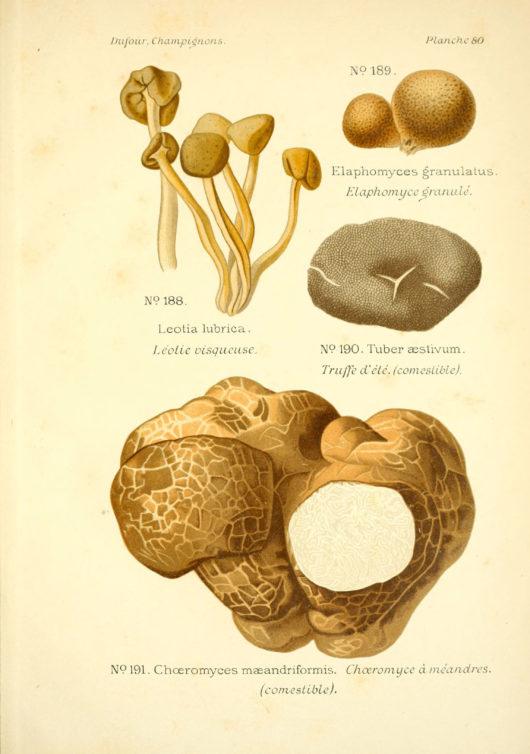 Dufour, Atlas des champignons comestibles et vénéneux / Public domain