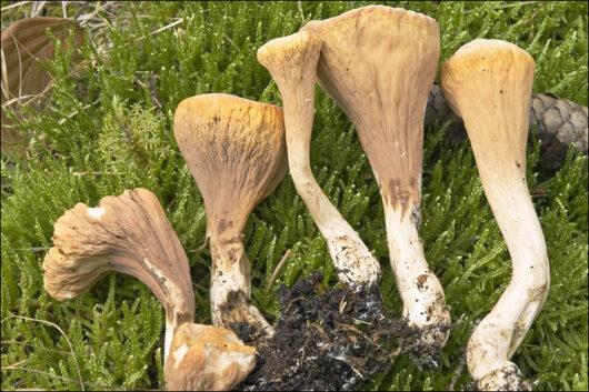 Cette image a été créée par l'utilisateur amadej trnkoczy (amadej) dans Mushroom Observer, une source d'images mycologiques.Vous pouvez contacter cet utilisateur iici.English| español| français| italiano| македонски| മലയാളം| português| +/− / CC BY-SA (https://creativecommons.org/licenses/by-sa/3.0)