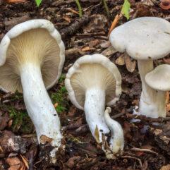 Cette image a été créée par l'utilisateur Jimmie Veitch (jimmiev) dans Mushroom Observer, une source d'images mycologiques.Vous pouvez contacter cet utilisateur iici.English| español| français| italiano| македонски| മലയാളം| português| +/− / CC BY-SA (https://creativecommons.org/licenses/by-sa/3.0)