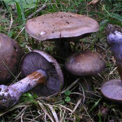 Cette image a été créée par l'utilisateur Irene Andersson (irenea) dans Mushroom Observer, une source d'images mycologiques.Vous pouvez contacter cet utilisateur iici.English| español| français| italiano| македонски| മലയാളം| português| +/− / CC BY-SA (https://creativecommons.org/licenses/by-sa/3.0)