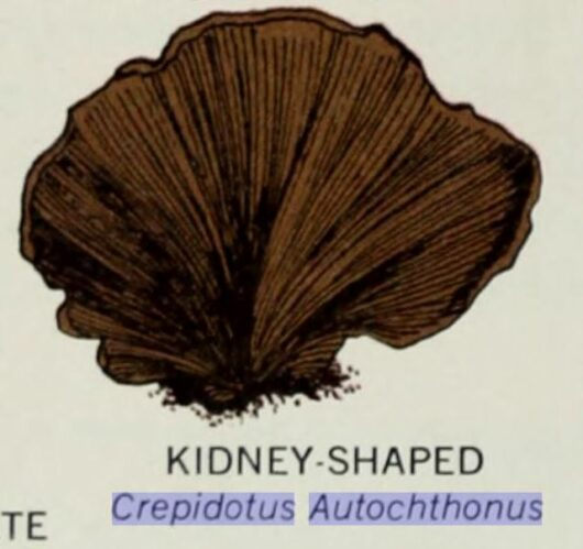 Crepidotus autochthonus, American Museum of Natural History, via archive.org