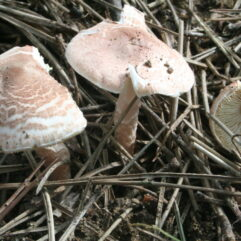 User:Strobilomyces / CC BY-SA (http://creativecommons.org/licenses/by-sa/3.0/)