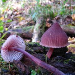 Cette image a été créée par l'utilisateur Dan Molter (shroomydan) dans Mushroom Observer, une source d'images mycologiques.Vous pouvez contacter cet utilisateur iici.English| español| français| italiano| македонски| മലയാളം| português| +/− / CC BY-SA (https://creativecommons.org/licenses/by-sa/3.0)