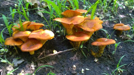 Cette image a été créée par l'utilisateur Glen van Niekerk (primordius) dans Mushroom Observer, une source d'images mycologiques.Vous pouvez contacter cet utilisateur iici.English| español| français| italiano| македонски| മലയാളം| português| +/− / CC BY-SA (https://creativecommons.org/licenses/by-sa/3.0)