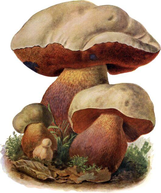 Schmeils naturwissenschaftliche Atlanten: Pilze der Heimat - Zweiter Band: Löcherpilze (Polyporaceae) und kleinere Familien; von Eugen Gramberg