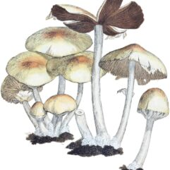 Coloured_Figures_of_English_Fungi_or_Mushrooms_-_t._324.jpg: James Sowerbyderivative work: Natr / Public domain