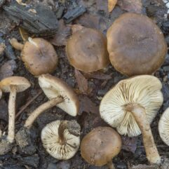 This image was created by user Alexey Sergeev (asergeev) at Mushroom Observer, a source for mycological images.You can contact this user here.English| español| français| italiano| македонски| മലയാളം| português| +/−, CC BY-SA 3.0 , via Wikimedia Commons