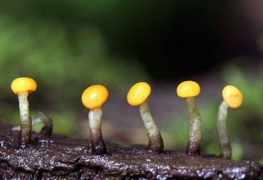 This image was created by user Christine Braaten (wintersbefore) at Mushroom Observer, a source for mycological images.You can contact this user here.English| español| français| italiano| македонски| മലയാളം| português| +/− / CC BY-SA (https://creativecommons.org/licenses/by-sa/3.0)