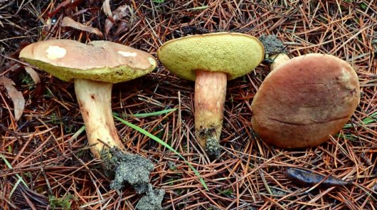 This image was created by user Ron Pastorino (Ronpast) at Mushroom Observer, a source for mycological images.You can contact this user here.English| español| français| italiano| македонски| മലയാളം| português| +/− / CC BY-SA (https://creativecommons.org/licenses/by-sa/3.0)