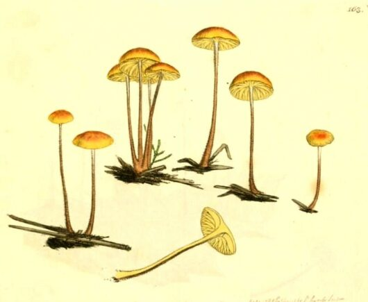Public Domain, James Sowerby, Coloured Figures of English Fungi Or Mushrooms, 1799